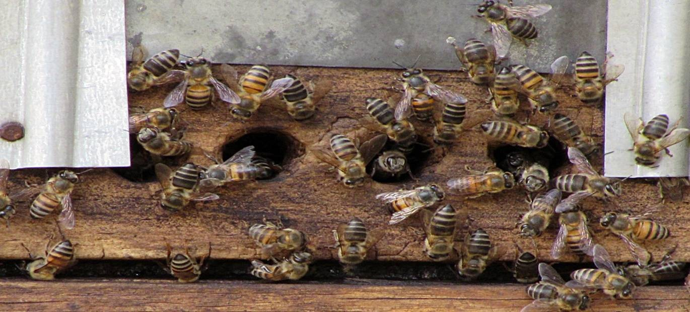 Bees on a catcher box